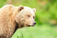 коричневый цвет медведя белокурый Стоковое Изображение RF
