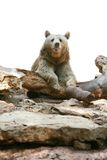 коричневый цвет медведя над белизной Стоковое Изображение RF