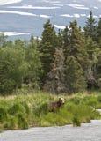 коричневый цвет медведя предпосылки около снежка реки Стоковое фото RF