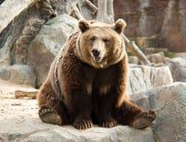 коричневый цвет медведя Стоковое Изображение