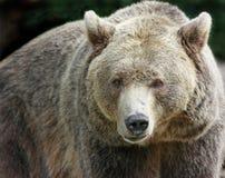 коричневый цвет медведя Стоковые Изображения RF