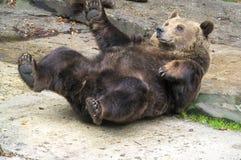 коричневый цвет медведя Стоковое фото RF