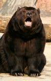 коричневый цвет медведя Стоковое Фото