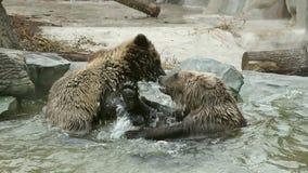 коричневый цвет медведей играя 2 акции видеоматериалы