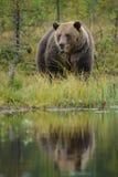 коричневый цвет медведя большой Стоковые Изображения RF