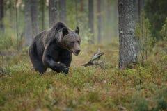 коричневый цвет медведя большой Стоковая Фотография RF