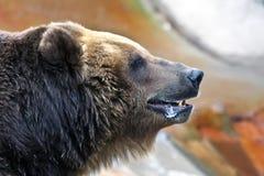коричневый цвет медведя большой Стоковое Фото