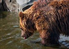 коричневый цвет медведя большой Стоковые Фотографии RF