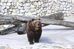 коричневый цвет медведя большой Стоковое фото RF