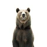 коричневый цвет медведя большой Стоковые Фото