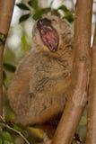 коричневый цвет противостоял красный цвет lemur Стоковое Фото