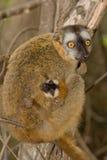 коричневый цвет противостоял красный цвет lemur Стоковые Фото