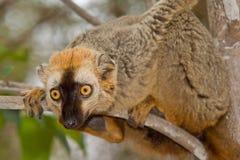 коричневый цвет противостоял красный цвет lemur Стоковая Фотография RF