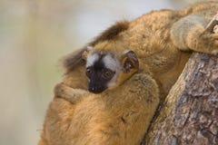 коричневый цвет противостоял красный цвет lemur Стоковое фото RF