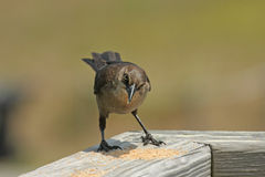коричневый цвет птицы стоковое фото rf