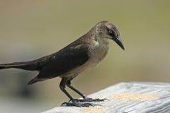 коричневый цвет птицы стоковое изображение rf