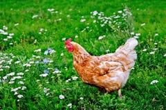 Коричневый цвет цыпленка на траве с цветками Стоковое Изображение