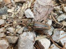 Коричневый цвет черепашки жука крепкого темного пива в горах стоковое изображение