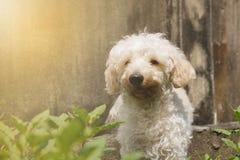 Коричневый цвет щенка пуделя, делая мягкий свет стоковые фотографии rf