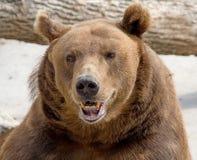коричневый цвет 5 медведей Стоковое фото RF