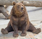 коричневый цвет 8 медведей Стоковое фото RF