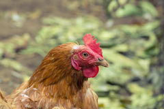 Коричневый цвет chiken стоковая фотография rf