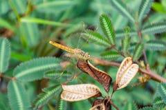Коричневый цвет Dragonfly на листьях стоковые фотографии rf