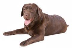 Коричневый цвет labrador собаки на белой предпосылке Стоковое фото RF