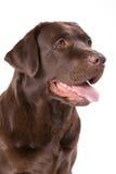 Коричневый цвет labrador собаки на белой предпосылке Стоковые Изображения RF