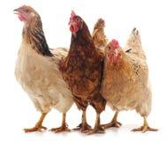 Коричневый цыпленок 3 стоковое изображение