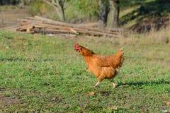 коричневый цыпленок пасет Стоковые Изображения
