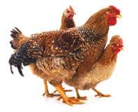 Коричневый цыпленок 3 стоковое фото rf