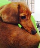 коричневый щенок Стоковые Фото