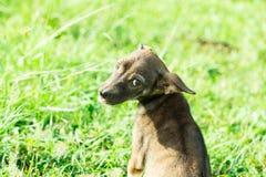 коричневый щенок Стоковое фото RF