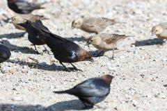коричневый cowbird возглавил стоковое изображение