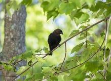 коричневый cowbird возглавил Стоковые Фотографии RF