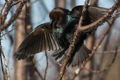 коричневый cowbird возглавил стоковое изображение rf