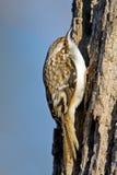 коричневый creeper стоковое фото rf