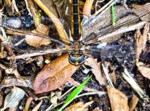 коричневый dragonfly с голубыми глазами Стоковые Фотографии RF