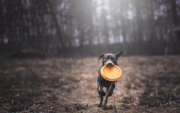 коричневый labrador Стоковое Изображение RF
