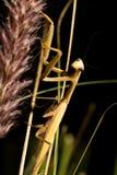 Коричневый mantis Стоковая Фотография