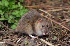 коричневый rattus крысы norvegicus Стоковые Фото