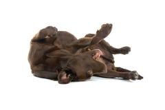 коричневый retriever labrador Стоковая Фотография