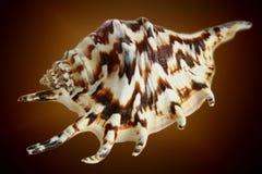 коричневый seashell раковины Стоковое Фото