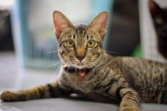коричневый striped серый цвет кота Стоковое Изображение RF