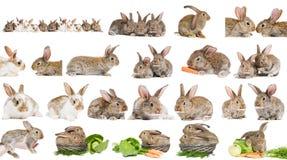 коричневым изолированный зайчиком комплект кролика Стоковое Фото