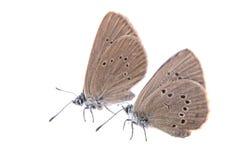 2 коричневых бабочки на черной предпосылке Стоковая Фотография RF