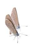 2 коричневых бабочки на черной предпосылке Стоковое Фото