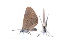 2 коричневых бабочки на черной предпосылке Стоковые Изображения RF