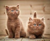 2 коричневых великобританских котят Стоковое Изображение